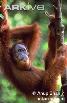 Male-Sumatran-orang-utan-hanging-in-branch.jpg