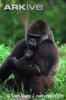 Western-lowland-gorilla-female-with-newborn.jpg