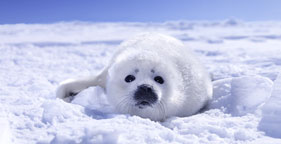 281x144_seal_pup_snow_2008.jpg