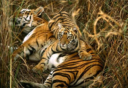 bengal-tigers-two-cubs.jpg